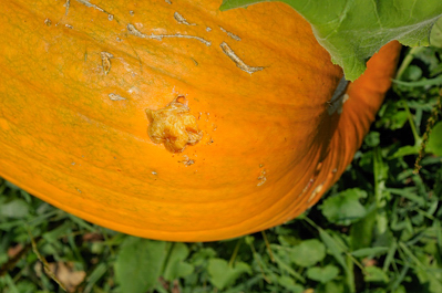Animals have chewed my pumpkins.
